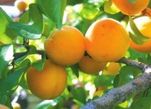 Золотое сечение армянского абрикоса