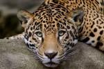 Кавказский леопард