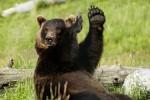 Медведь украл у дачников борщ