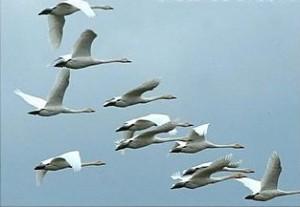 поведение птиц