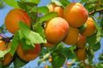 Урожай абрикоса в Армении