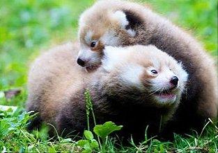 красные панды