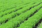 медовая трава