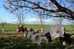 Арарат весной