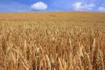 посевы зерновых культур