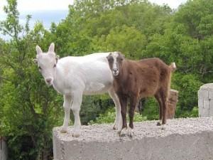 мелкий рогатый скот