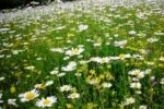 Армения цветы