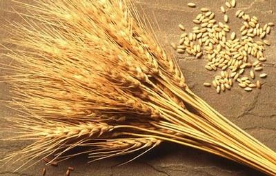 ВКемеровской области собрали стратегический млн. тонн зерна