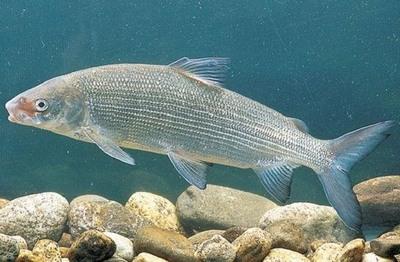 рыбалка в армении на озере севане