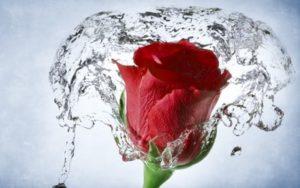 роза и вода