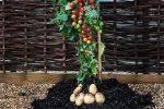 томат и картофель