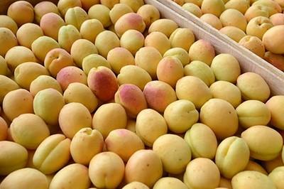 armenian apricot