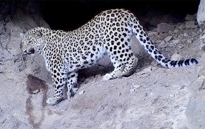 леопарды Армении
