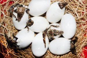 Яйца крокодила